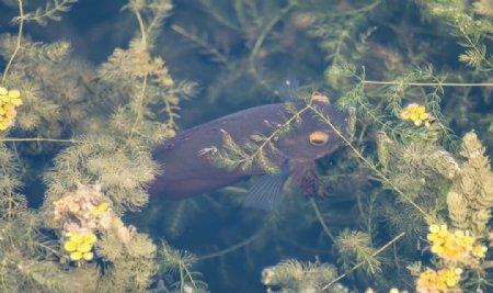 锦鲤鲤鱼图片