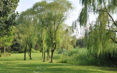 园林植物景观水边的旱柳图片