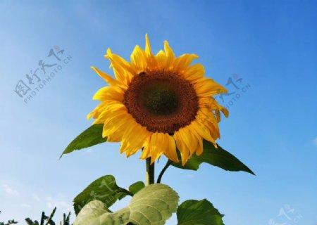 向日葵向阳花太阳花图片