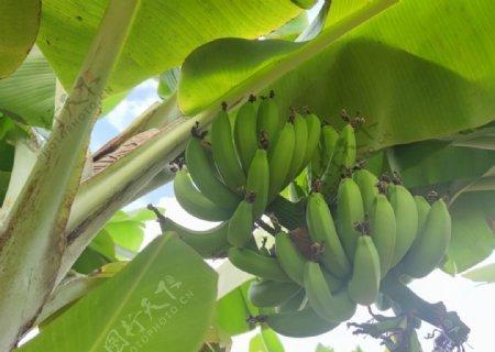 香蕉果园水果图片