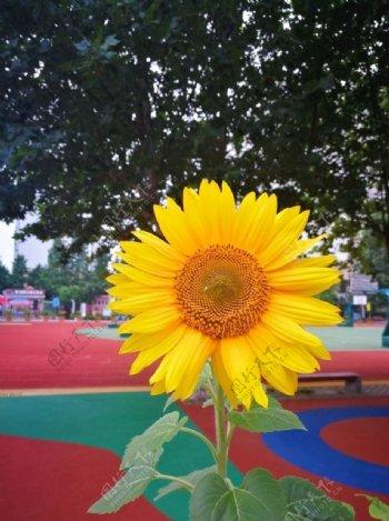 校园中的向日葵图片